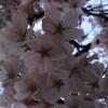 桜とプール